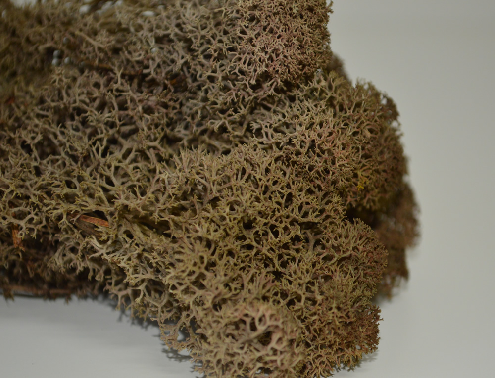 Brown Reindeer Moss