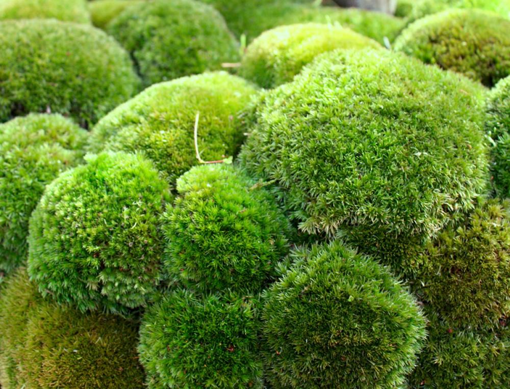 Moss Green Preserved Bun / Boll Moss