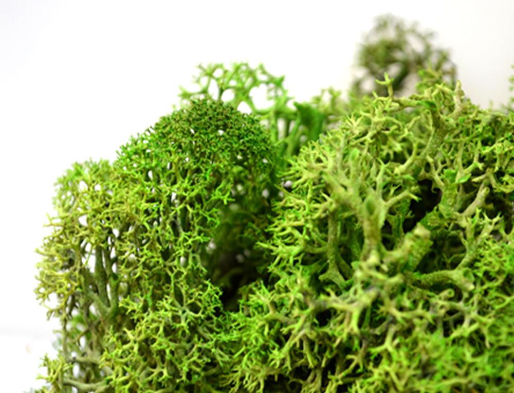 Moss Green Reindeer Moss