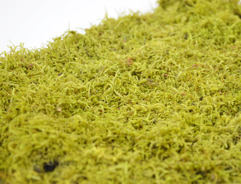Natural Flat Moss (not preserved)
