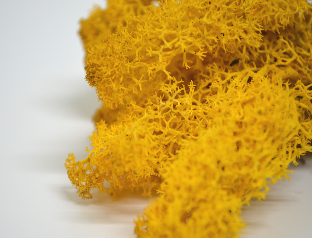 Yellow Reindeer Moss