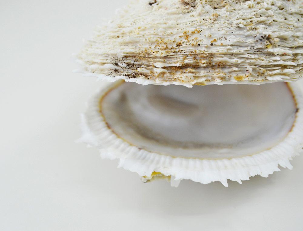 Spondylus Varius Shells