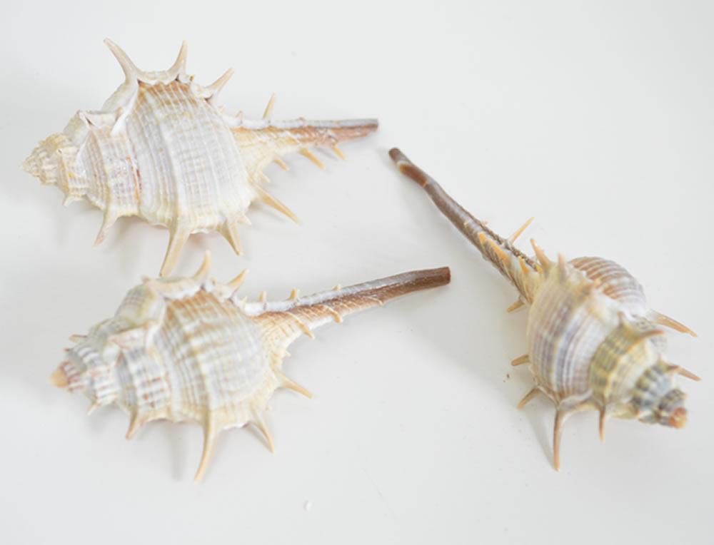 Venus Murex (Thorn) Shells
