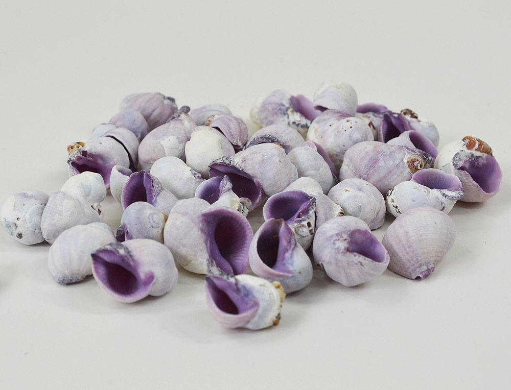 Violet Snail (Cebu) Shells