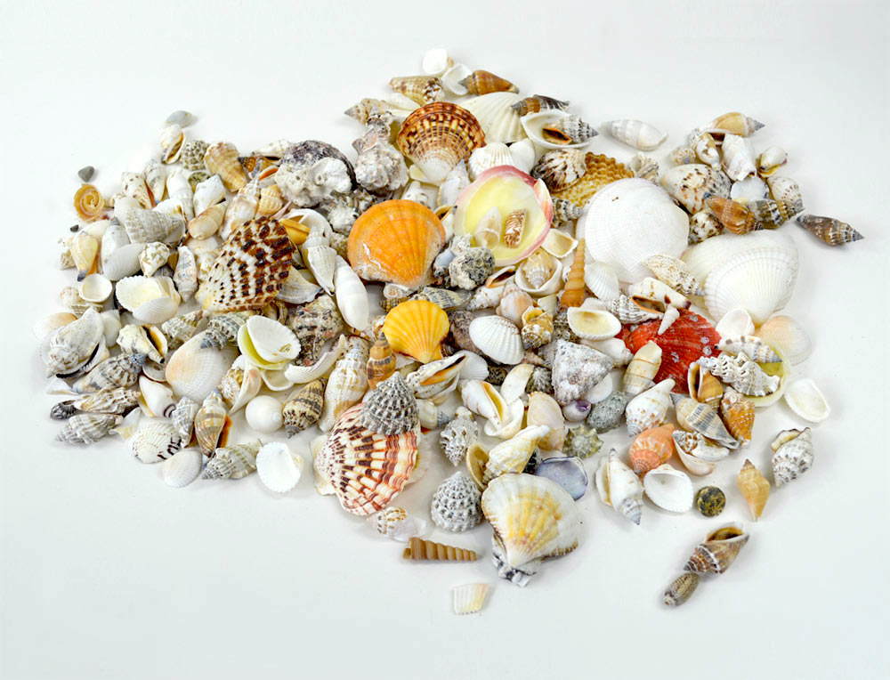 Beach Mixed Seashells