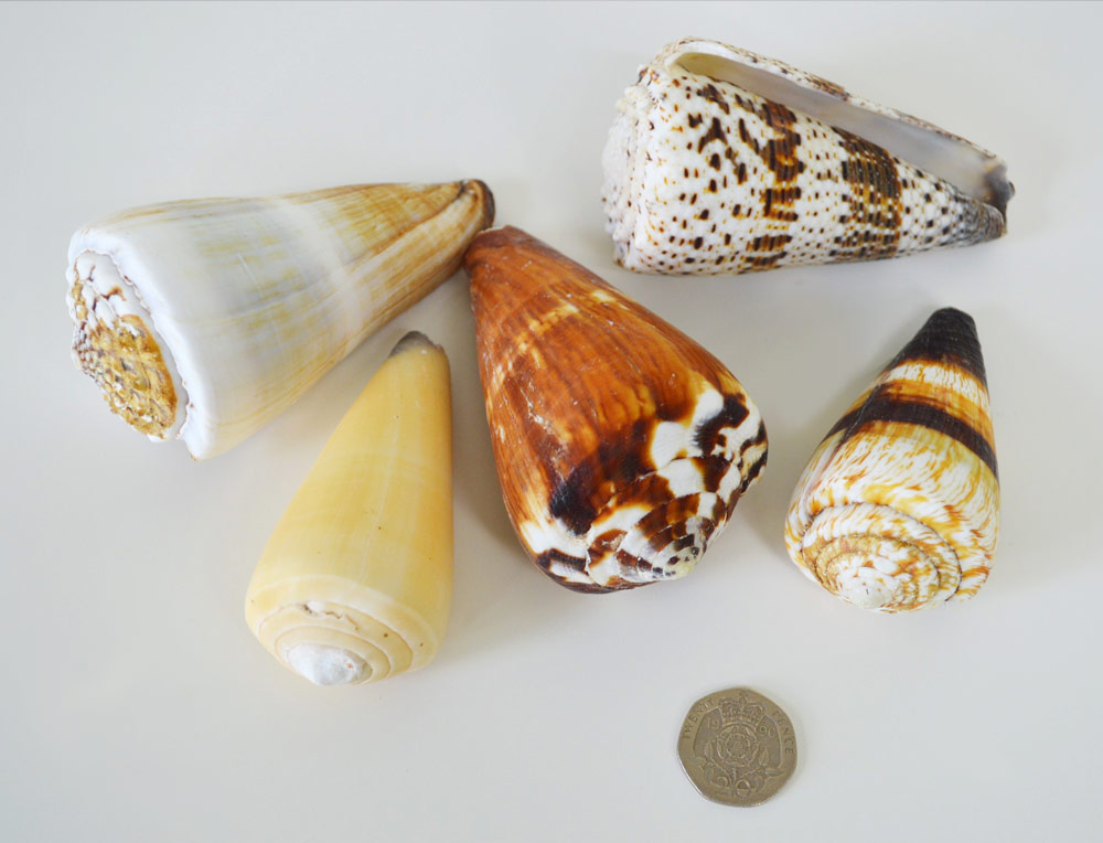 Cone Seashell Mix