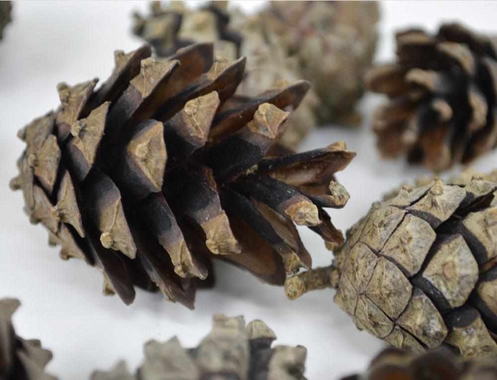 Scots Pine Cones