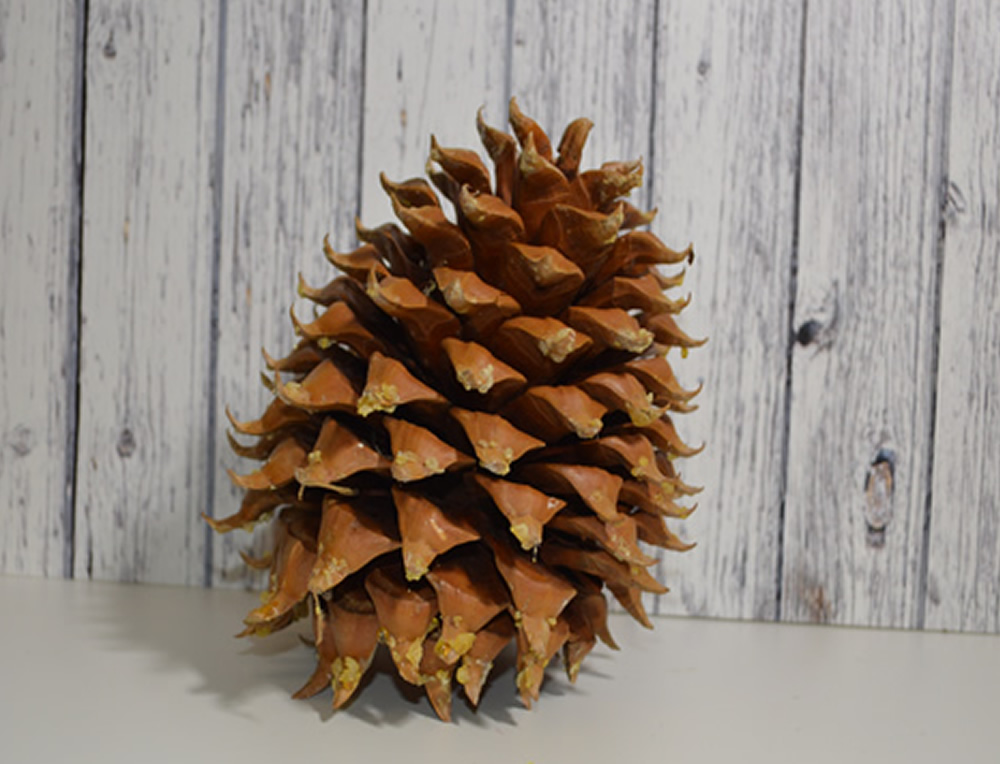 Coulter Pine cones